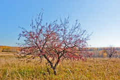 Wild Apple-tree in the field autumn day Stock Images