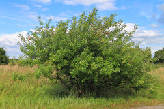 Wild apple tree Stock Images