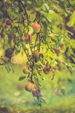 Wild apple tree royalty free stock images