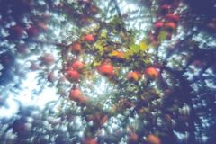 Wild apple tree in forest royalty free stock photography