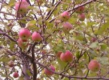 Wild Apple Tree. Ripe apples on a wild apple tree Stock Photography