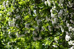 Wild apple tree white flowers Royalty Free Stock Photography