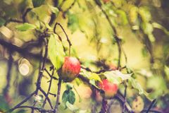 Wild apple tree stock photo