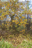 Wild apple tree with yellow leaves and fallen apples. Stock Photo