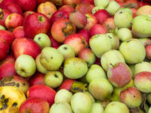 Wild apples. In a bin at the cider mill Stock Photography