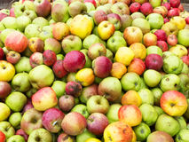 Wild apples. In a bin at the cider mill Stock Images