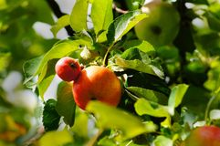 Wild apples on a branch Royalty Free Stock Photos