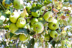 Wild apples. A dense cluster of spotted fruit on a tall, wild apple tree Royalty Free Stock Photo