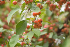Wild apples. The gifts of autumn Royalty Free Stock Photography