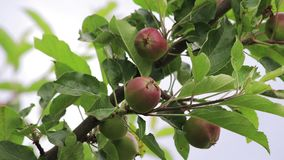 Close up wild apples. Wild apples growing on a small apple tree in a park stock video footage