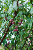 Wild apples in the rain. Wild apples ripen in the tree Royalty Free Stock Photography