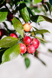 Wild apples. Ripe wild apples on a branch Royalty Free Stock Image