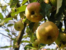 Wild apples Royalty Free Stock Photos
