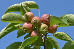 Wild apples Stock Image