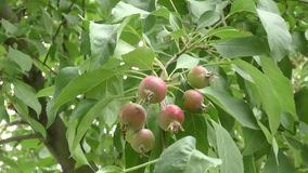 Wild apples swinging in the wind. Wild apples swinging in the breeze on a summer day stock video