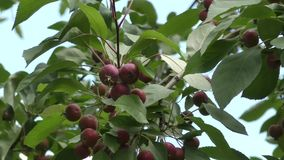 Wild apples swinging in the wind. Wild apples swinging in the breeze on a summer day stock video footage
