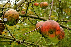 Wild apples on the tree Royalty Free Stock Photo