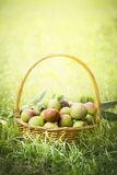 Wild apples in a wicker basket on the grass on a sunny natural background. Wild apples in a wicker basket the grass on a sunny natural background stock photo
