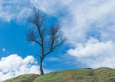 Wild apricot tree on a hill in early spring season Stock Images