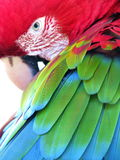 Wild Arara (parrot). With focus on feathers' beautiful details and colors:red green and blue, seen in Pantanal area, Brazil Royalty Free Stock Images