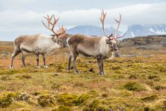 Wild Arctic reindeer in natural environment Royalty Free Stock Photos