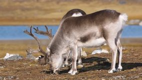 Wild Arctic reindeer in natural environment stock video footage