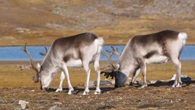 Wild Arctic reindeer in natural environment stock footage