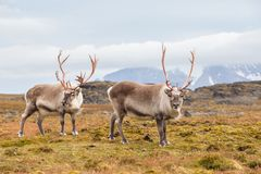 Wild Arctic reindeer in natural habitat Stock Photo