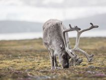 Wild Arctic reindeer Royalty Free Stock Photography