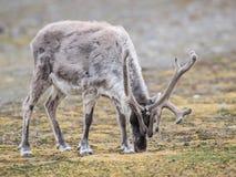 Wild Arctic reindeer Stock Images