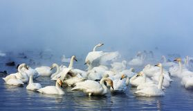 Wild Swans royalty free stock photography