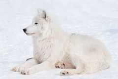 Wild arctic wolf is lying on white snow. Animals in wildlife. Canis lupus arctos. Polar wolf or white wolf stock image