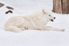 Wild arctic wolf is lying on white snow. Close up. Animals in wildlife. Canis lupus arctos. Polar wolf or white wolf royalty free stock photos