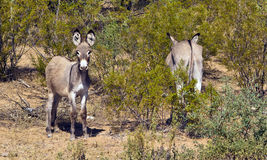 Wild Arizona Asses Royalty Free Stock Photo