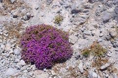 Wild aromatic thyme Royalty Free Stock Photos