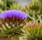 Wild artichoke in full bloom Royalty Free Stock Photos
