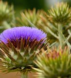 Wild artichoke in full bloom Royalty Free Stock Images