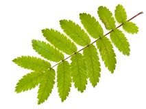Wild ash leaf Royalty Free Stock Images