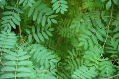 Wild ash leaves Royalty Free Stock Photo
