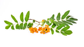 Wild ash or Sorbus, or Sorb, or Rowanberry, or Rowan Royalty Free Stock Photography