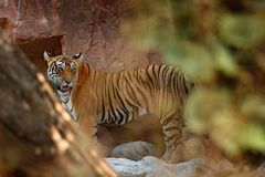 Wild Asia. Tiger walking in stones. Indian tiger with first rain, wild animal in the nature habitat, Ranthambore, India. Big cat, Royalty Free Stock Photo