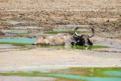 Wild asian buffalo Bubalus arnee in water pond. Uda walawe national park, Sri Lanka Stock Photo
