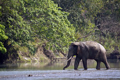 Wild asian elephant crossing the river at Bardia national park, , Nepal Stock Images