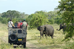 Wild Asian elephant in Minneriya national park, Sri Lanka Royalty Free Stock Photo