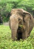 Wild asian elephant, Sri Lanka Stock Image