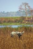 Wild Asiatic Buffalo at Kaziranga National Park royalty free stock image