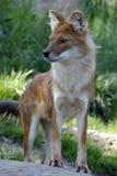 wild asiatic hund royaltyfri bild