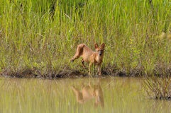 wild asiatisk hund Royaltyfria Bilder