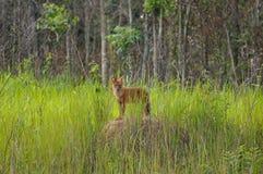 wild asiatisk hund Royaltyfri Foto