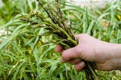 Wild asparagus (Asparagus officinalis) gathering Stock Image